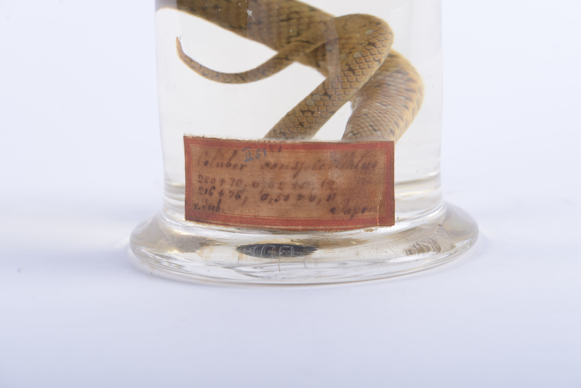 RMNH.RENA.400.b   Elaphe conspicillata (Boie, 1826)