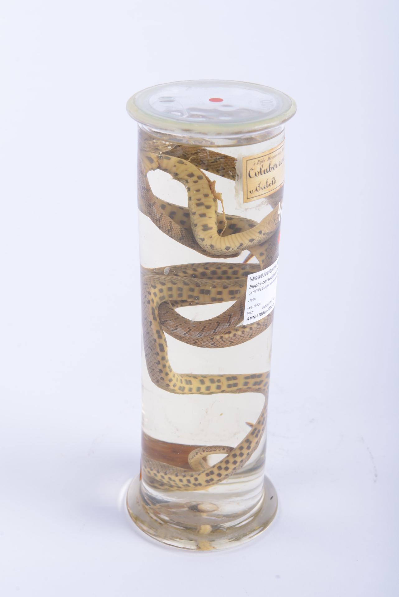 RMNH.RENA.400.b | Elaphe conspicillata (Boie, 1826)