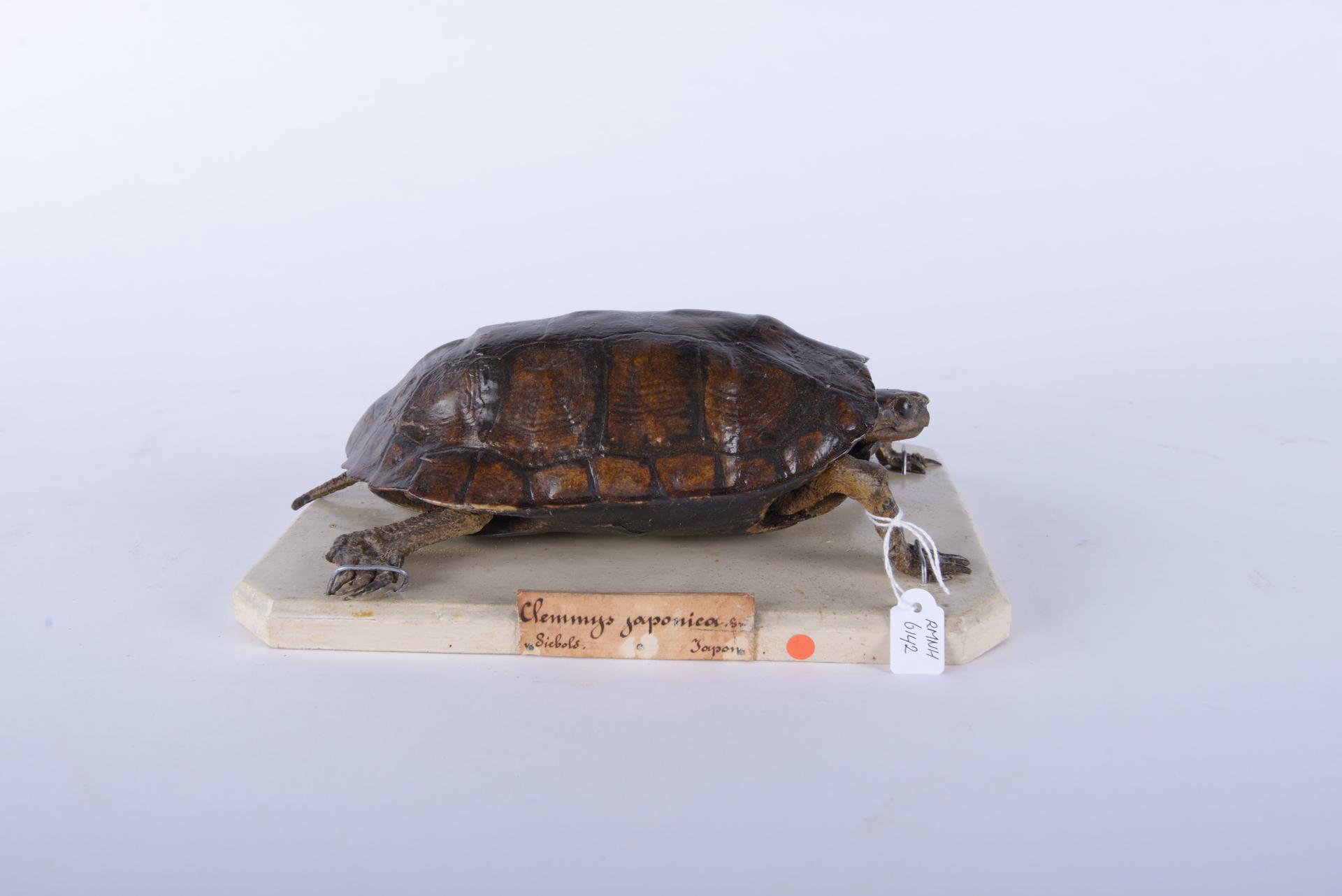 RMNH.RENA.6142 | Mauremys japonica (Temminck & Schlegel, 1835)