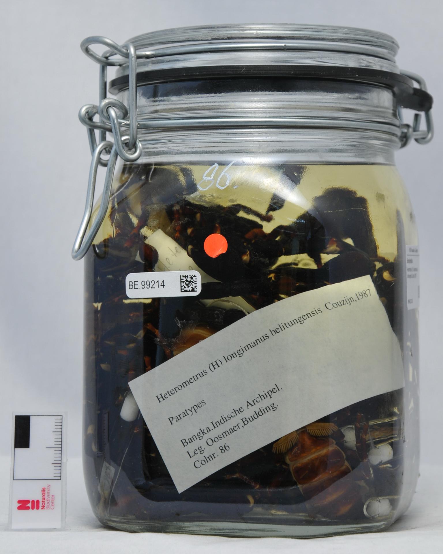 RMNH.SCO.86 | Heterometrus (H.) longimanus belitungensis Couzijn,1981