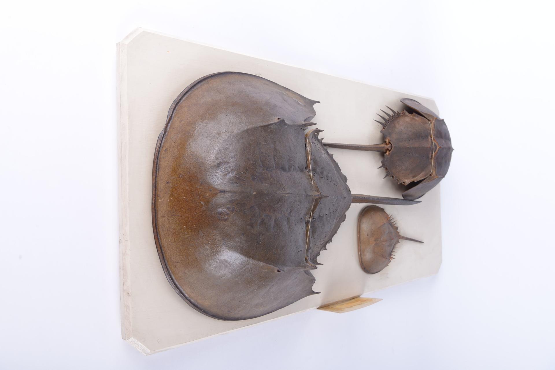 RMNH.XIP.36 | Tachypleus tridentatus (Leach, 1819)