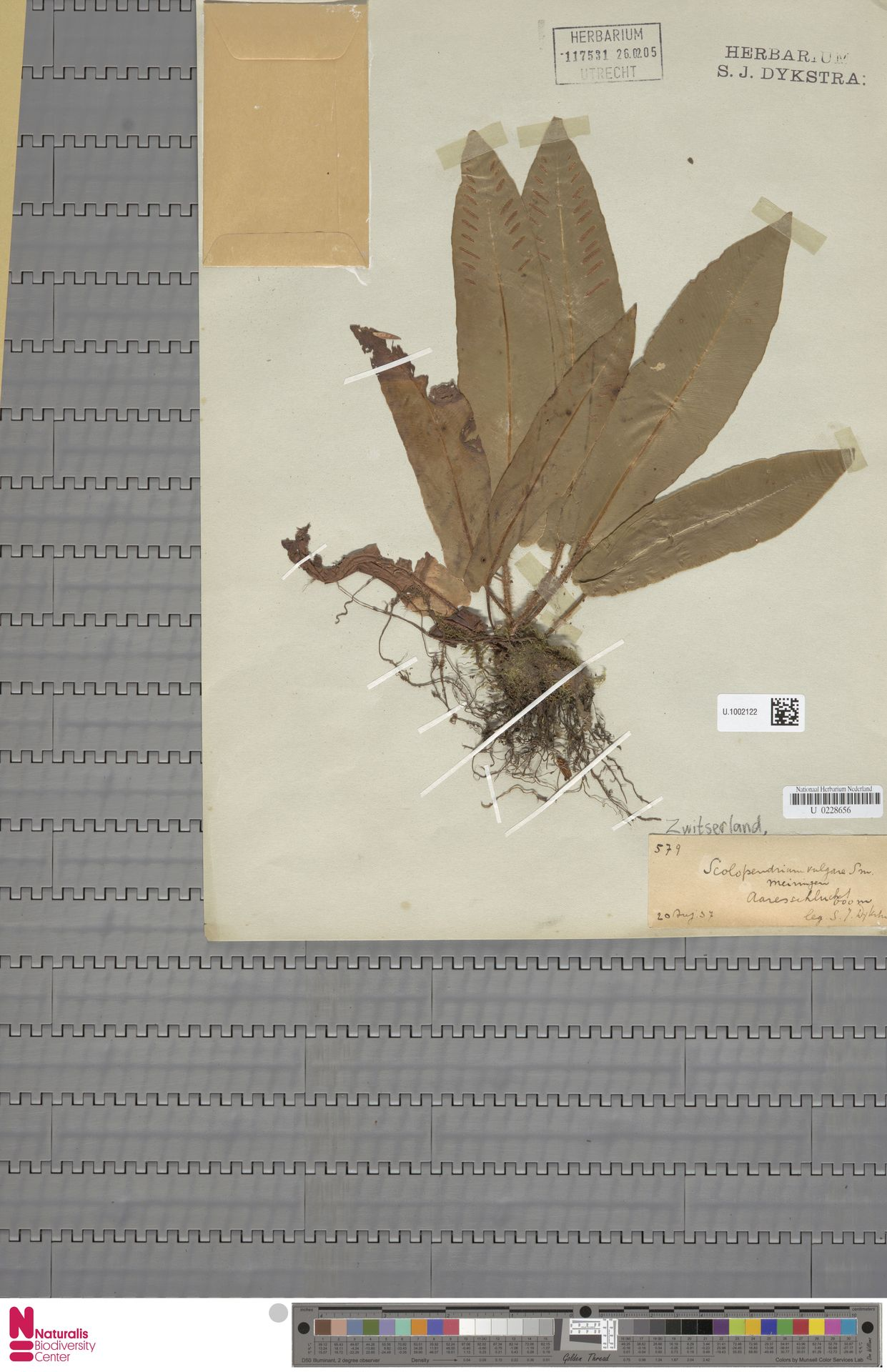 U.1002122 | Asplenium scolopendrium L.