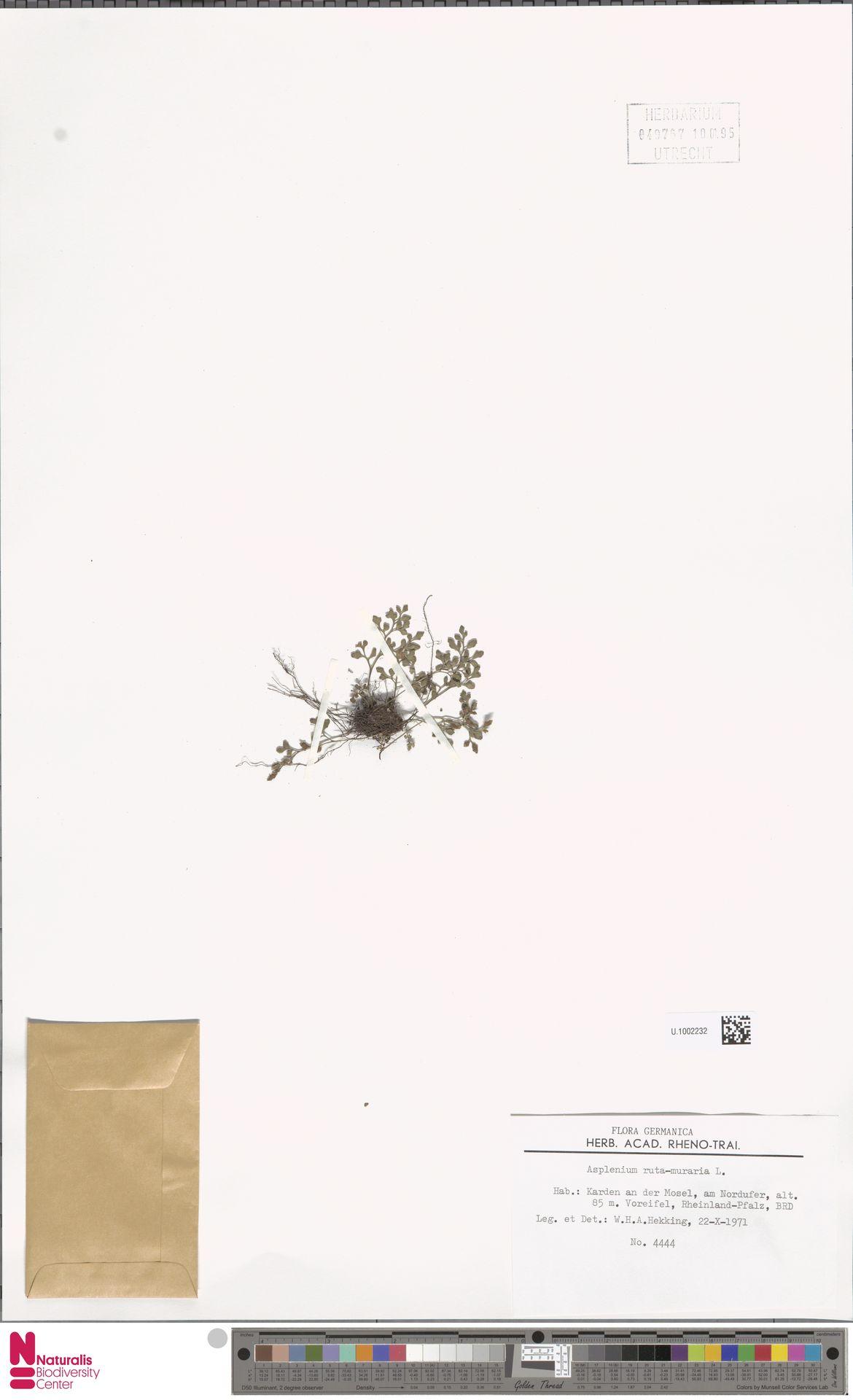 U.1002232 | Asplenium ruta-muraria L.