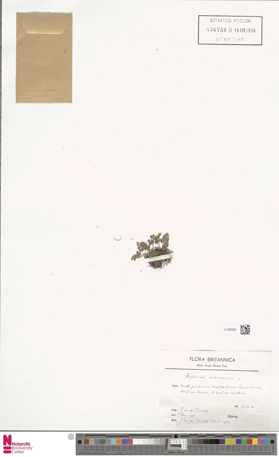 U.1002233 | Asplenium ruta-muraria L.