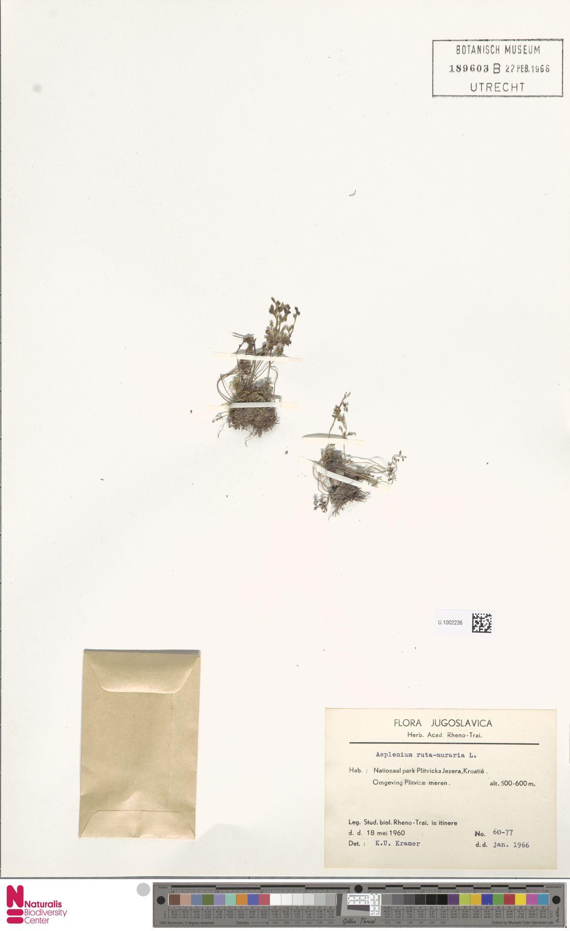 U.1002236   Asplenium ruta-muraria L.