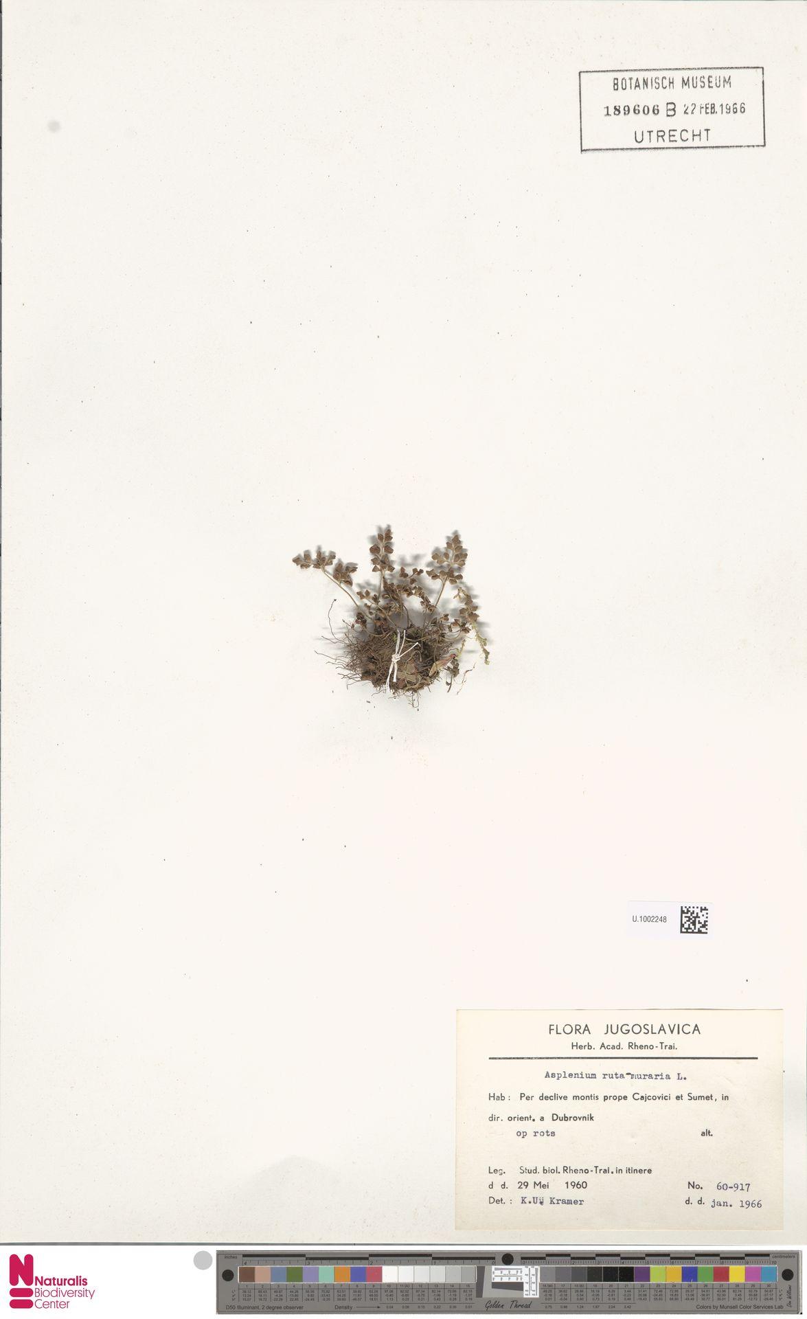 U.1002248 | Asplenium ruta-muraria L.