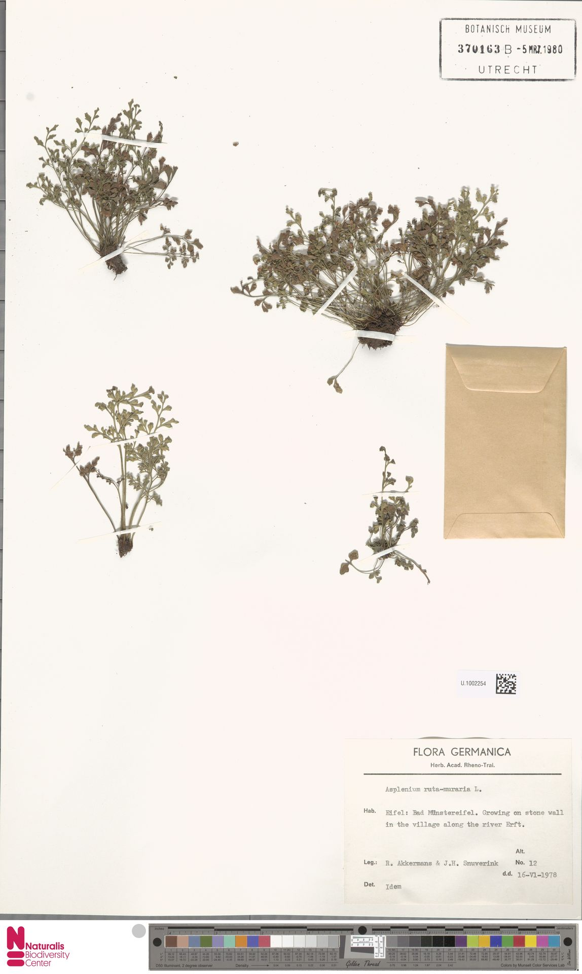 U.1002254 | Asplenium ruta-muraria L.