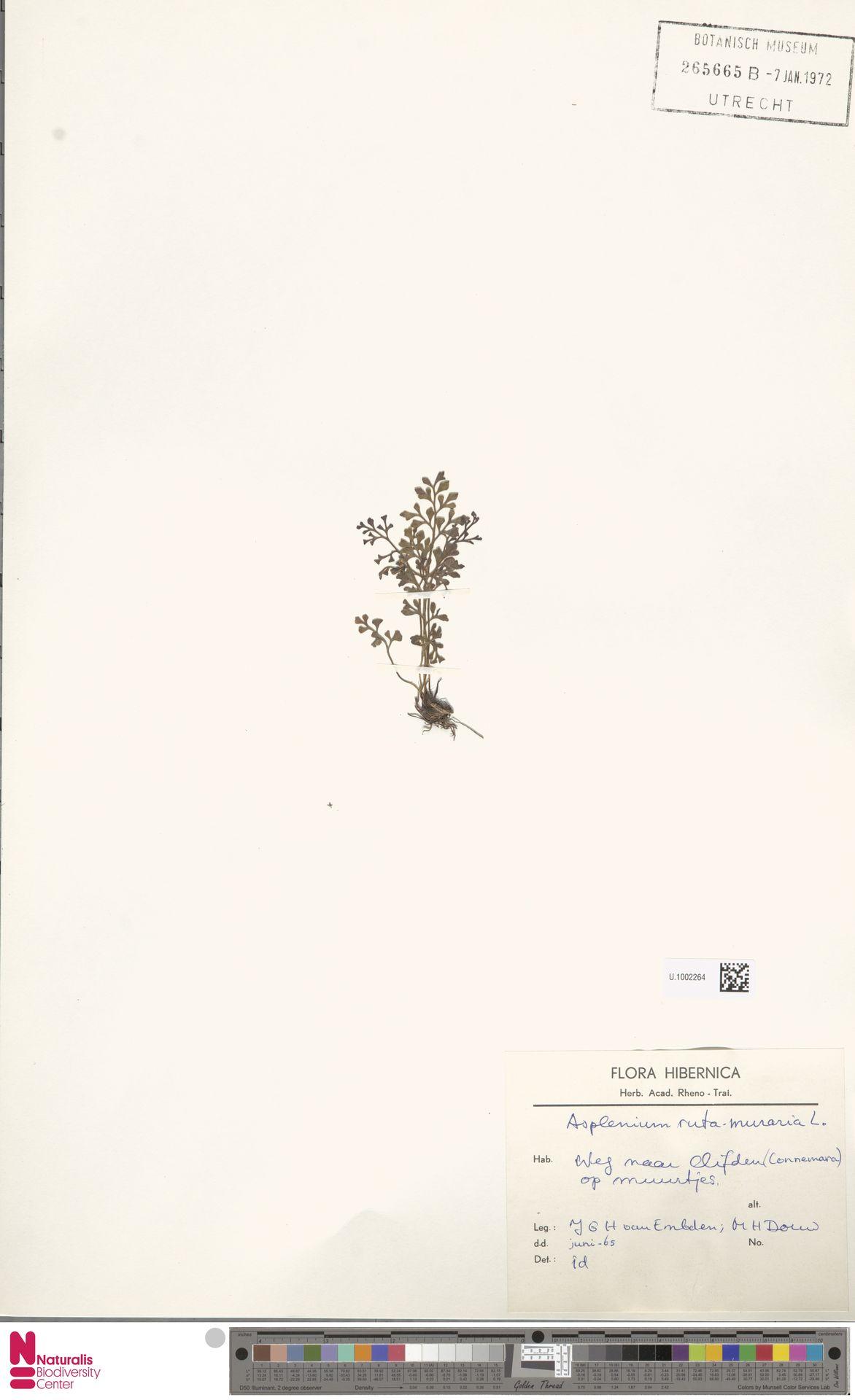 U.1002264 | Asplenium ruta-muraria L.