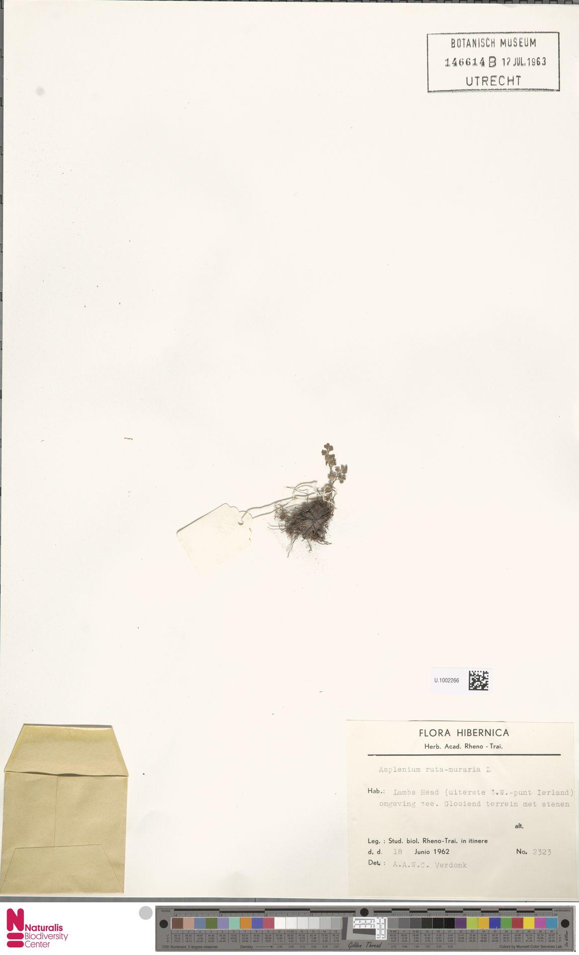U.1002266 | Asplenium ruta-muraria L.