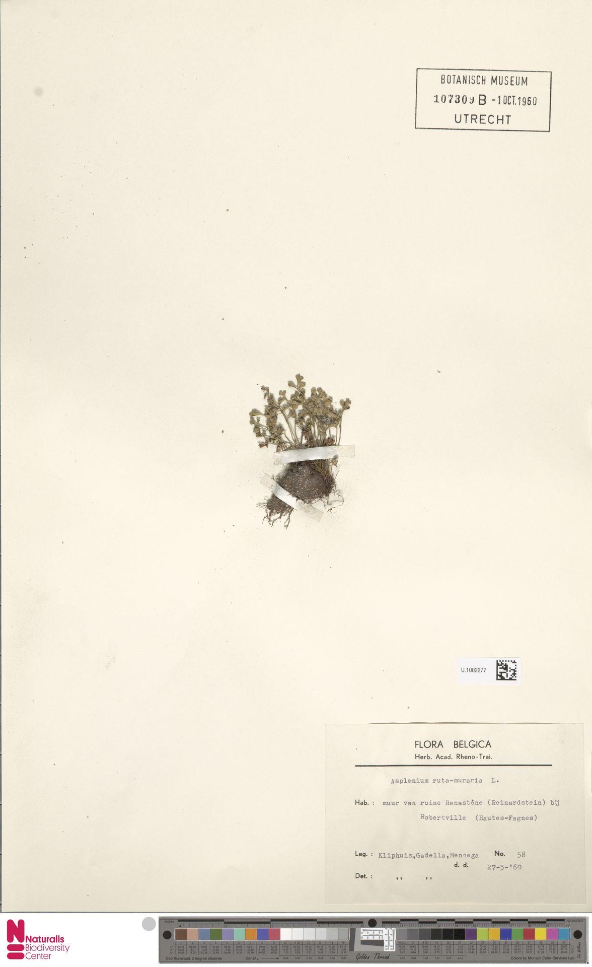 U.1002277 | Asplenium ruta-muraria L.