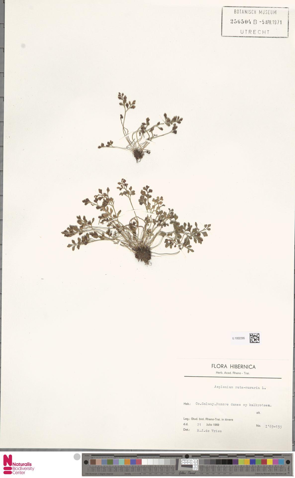 U.1002295 | Asplenium ruta-muraria L.