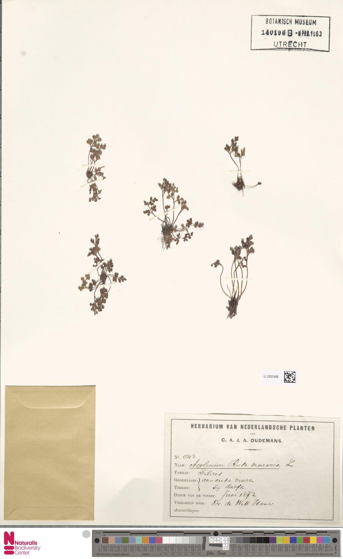 U.1002498 | Asplenium ruta-muraria L.