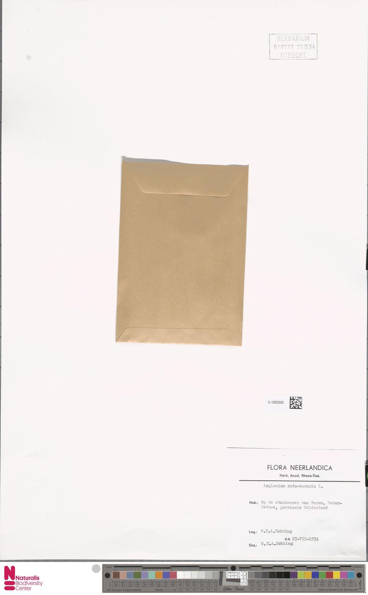 U.1002503 | Asplenium ruta-muraria L.