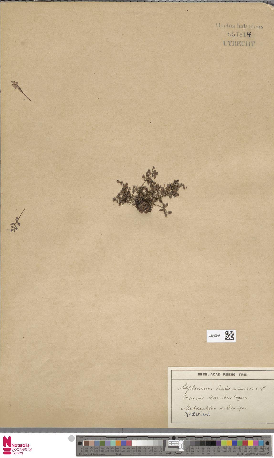 U.1002507 | Asplenium ruta-muraria L.