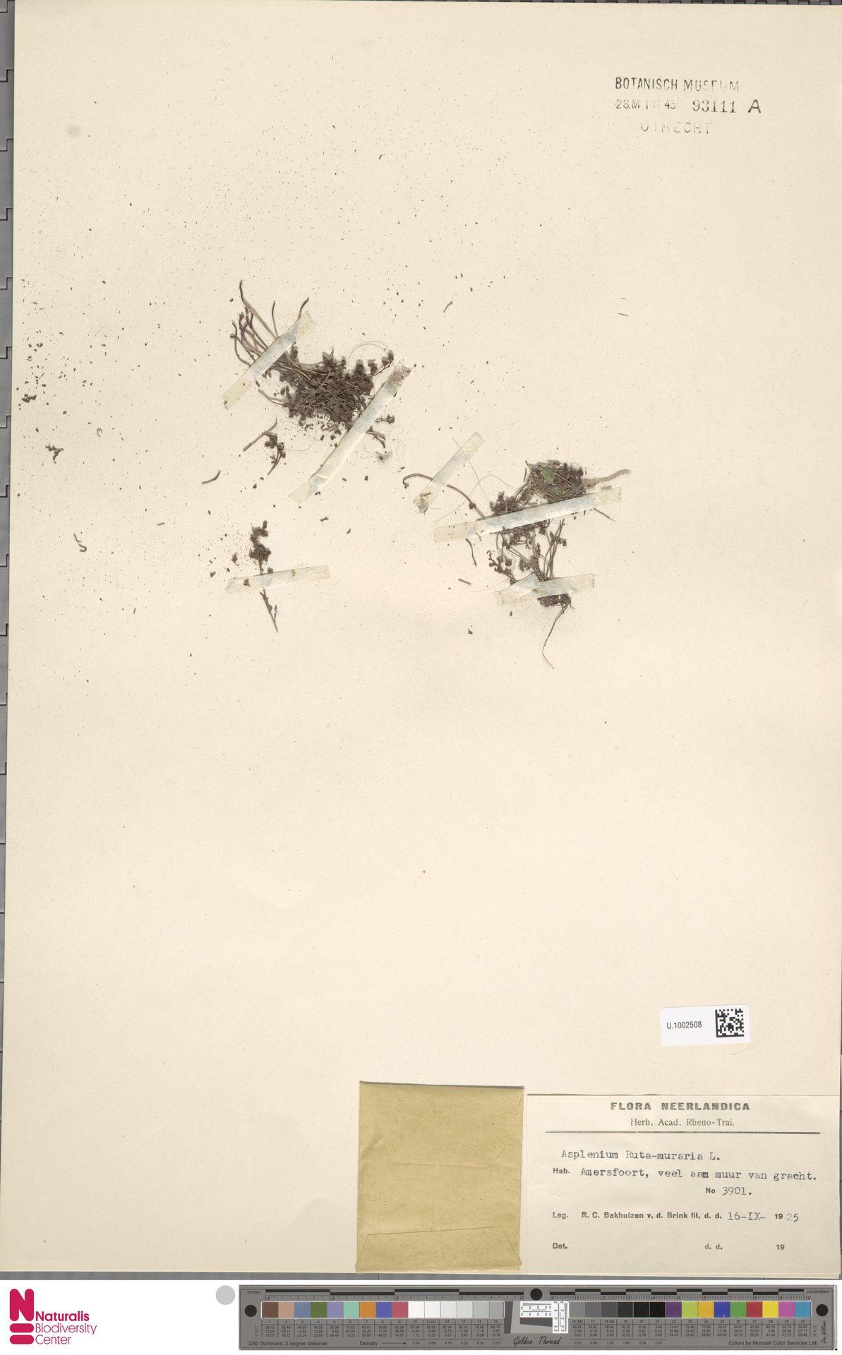 U.1002508 | Asplenium ruta-muraria L.