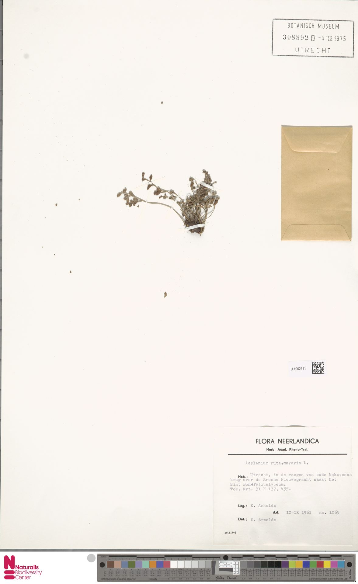 U.1002511 | Asplenium ruta-muraria L.