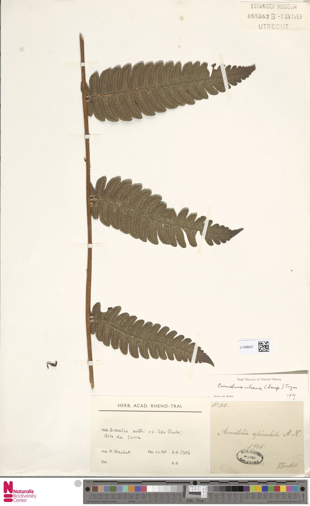 U.1006547 | Cnemidaria uleana (Samp.) R.M.Tryon