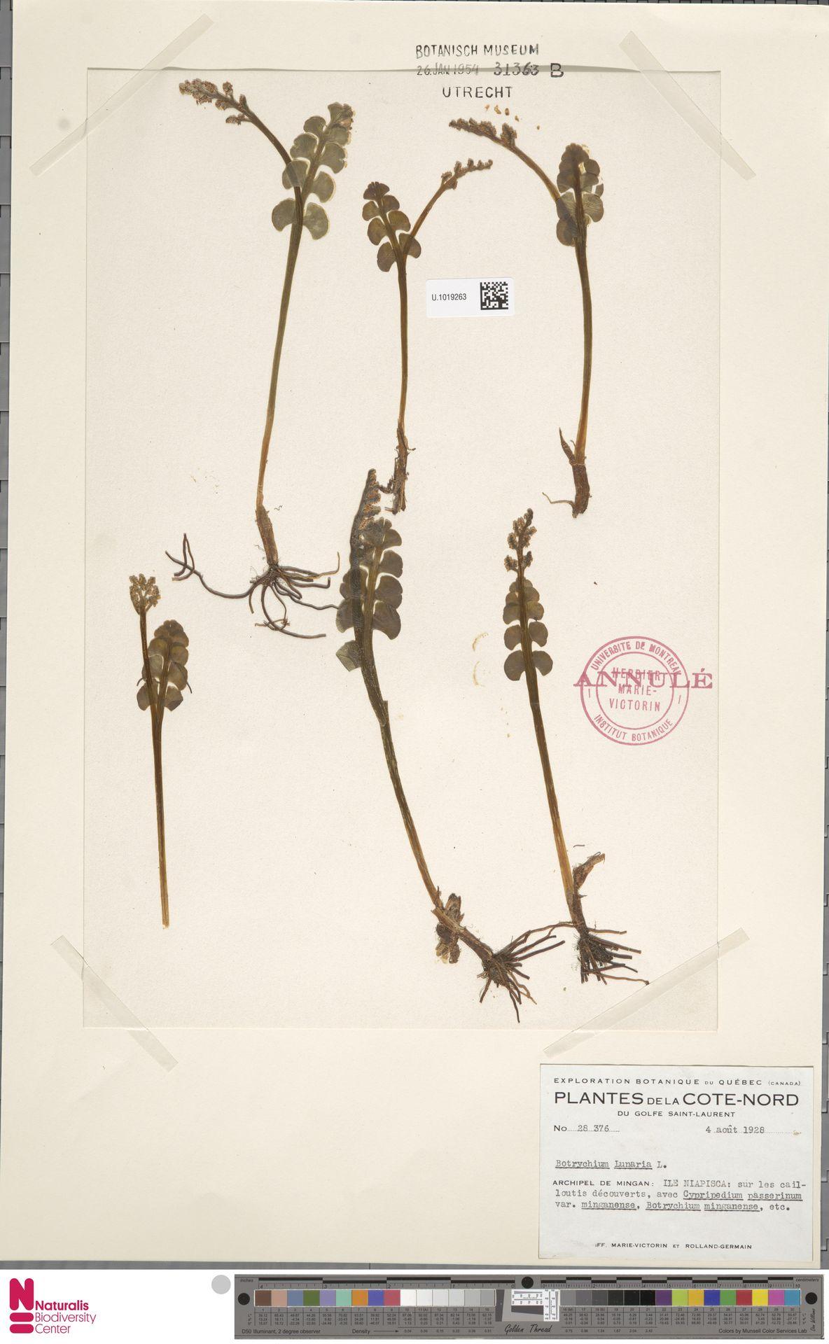 U.1019263 | Botrychium lunaria (L.) Sw.