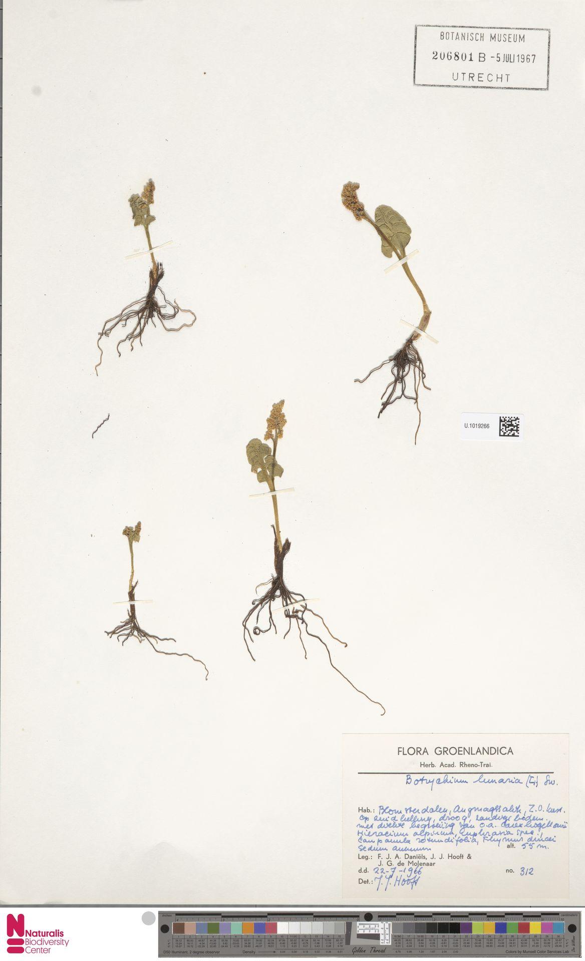 U.1019266 | Botrychium lunaria (L.) Sw.