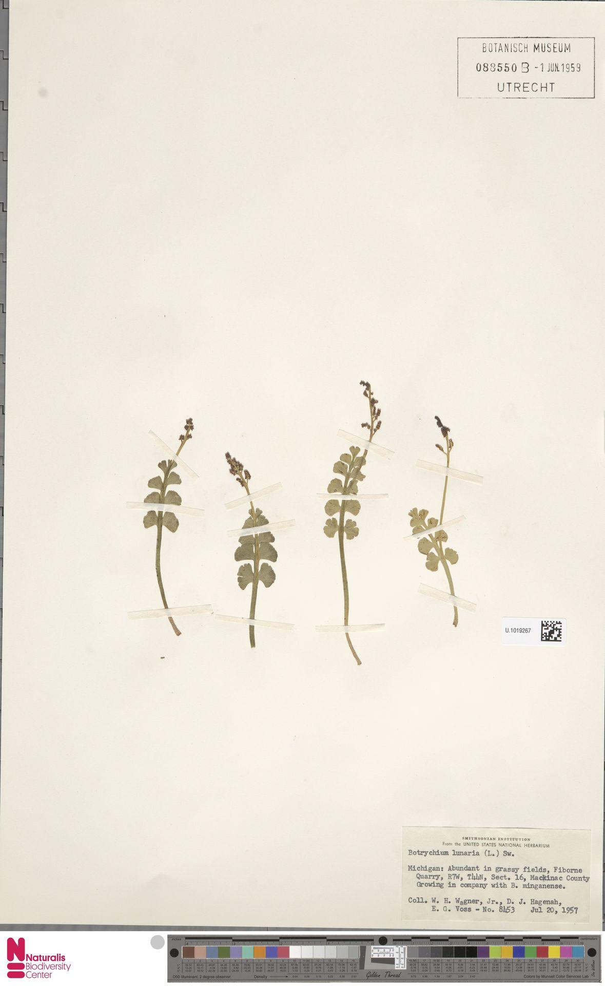 U.1019267 | Botrychium lunaria (L.) Sw.