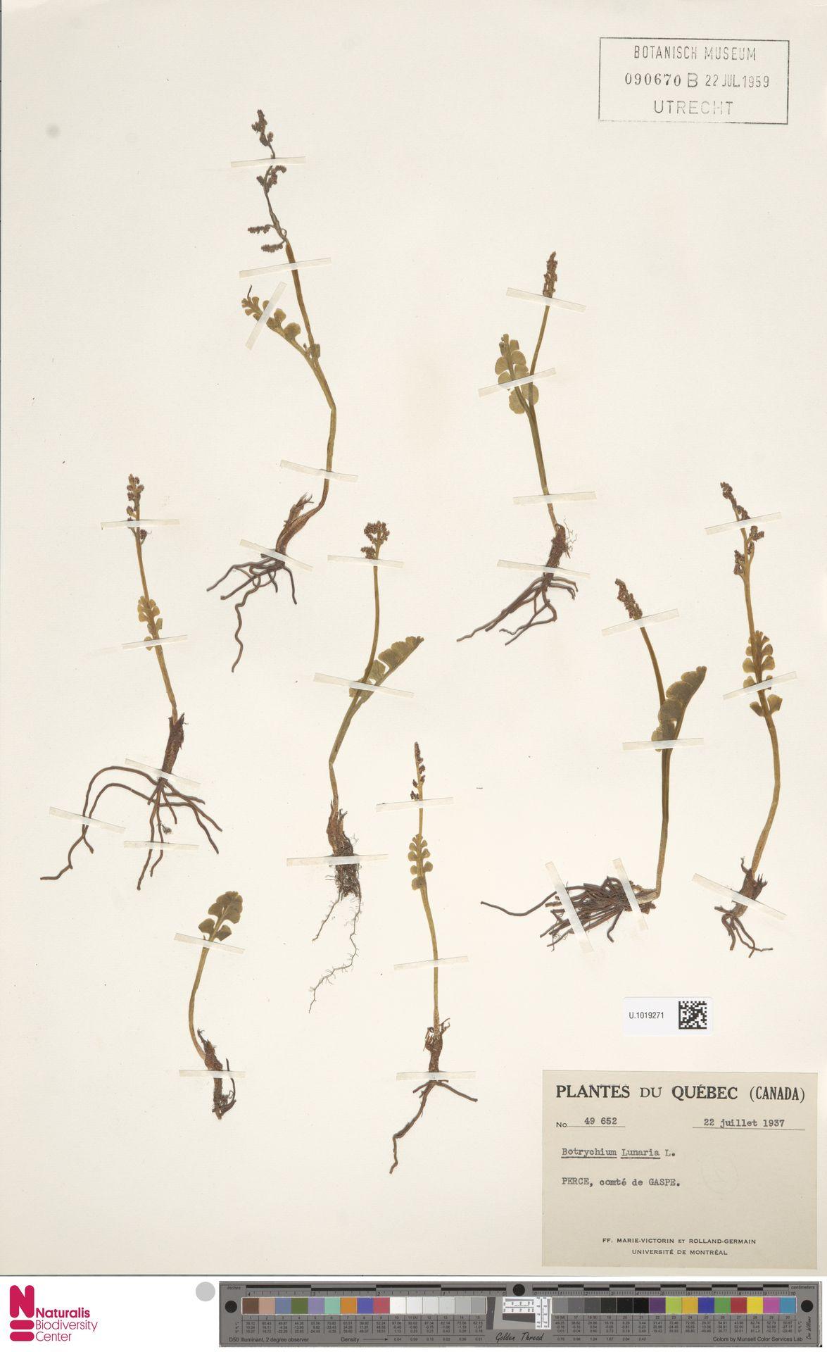 U.1019271 | Botrychium lunaria (L.) Sw.