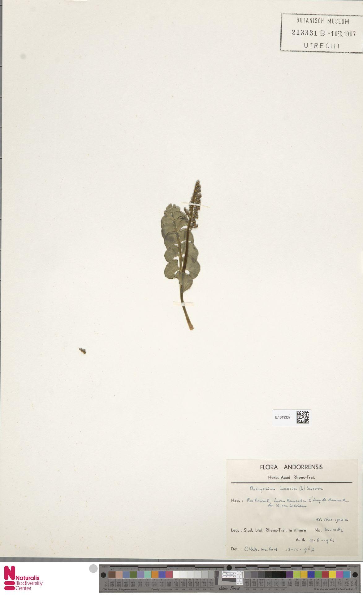 U.1019337 | Botrychium lunaria (L.) Sw.