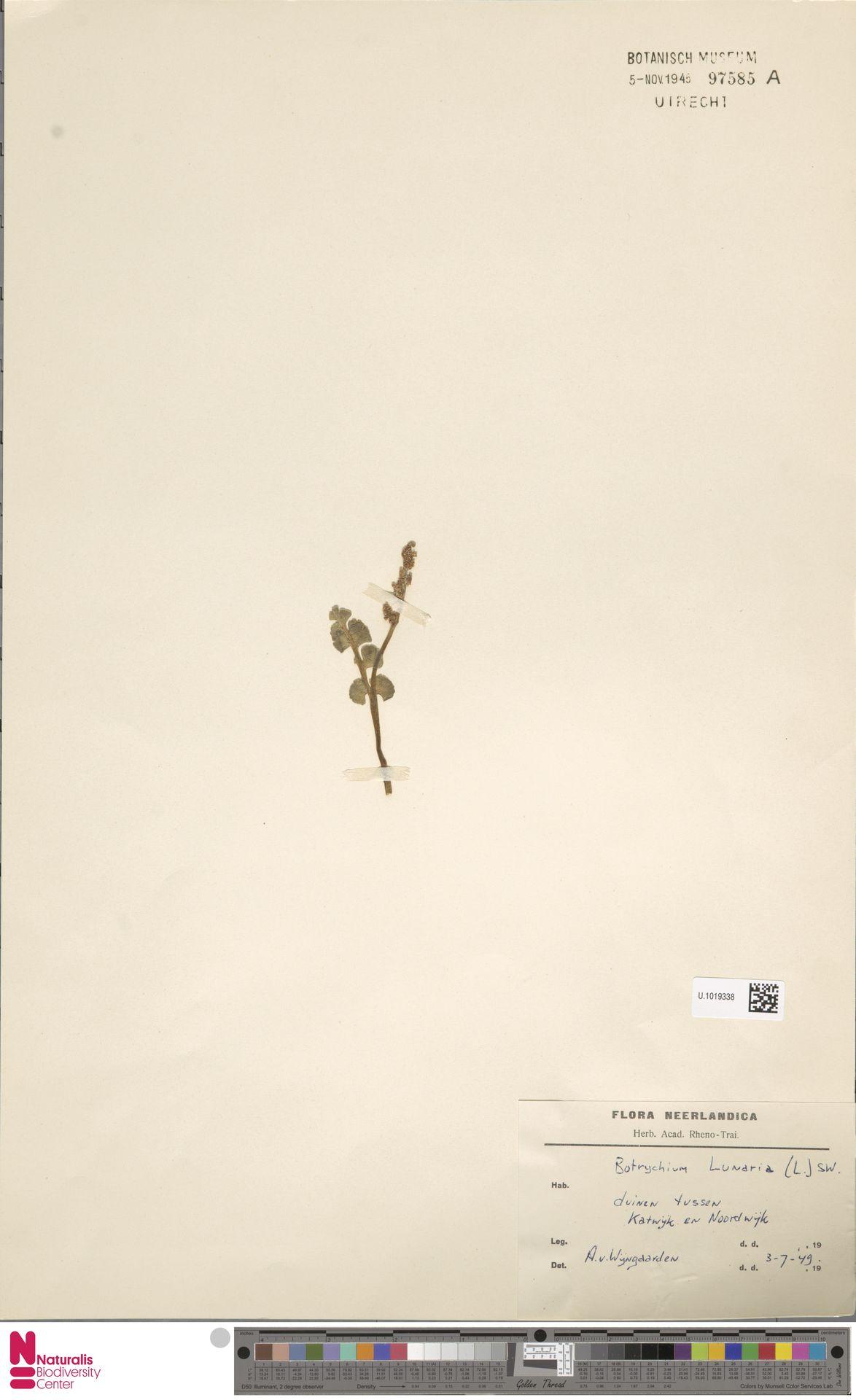 U.1019338   Botrychium lunaria (L.) Sw.