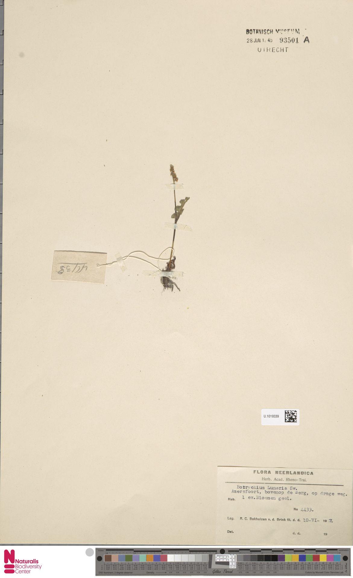 U.1019339 | Botrychium lunaria (L.) Sw.