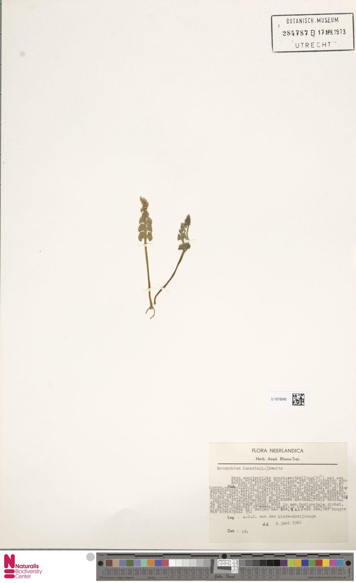 U.1019340 | Botrychium lunaria (L.) Sw.
