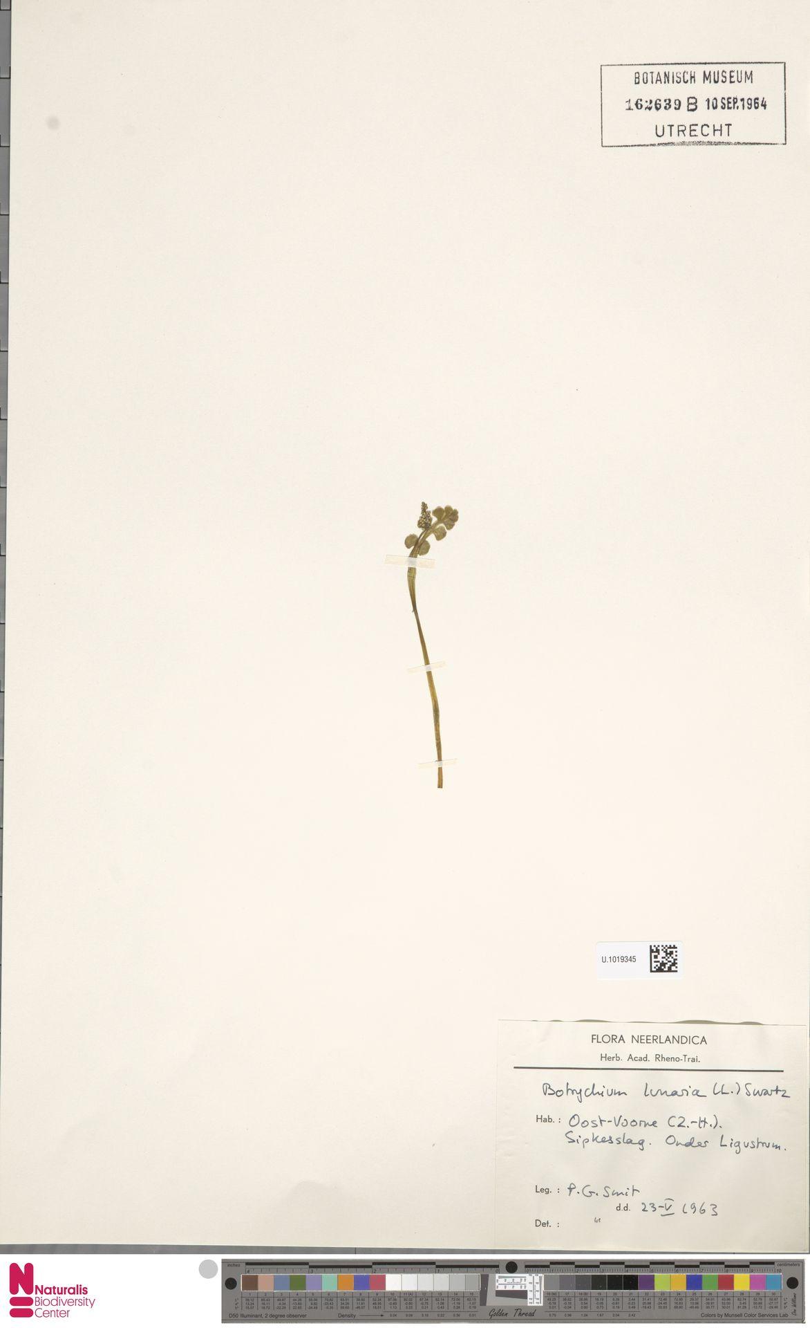 U.1019345 | Botrychium lunaria (L.) Sw.