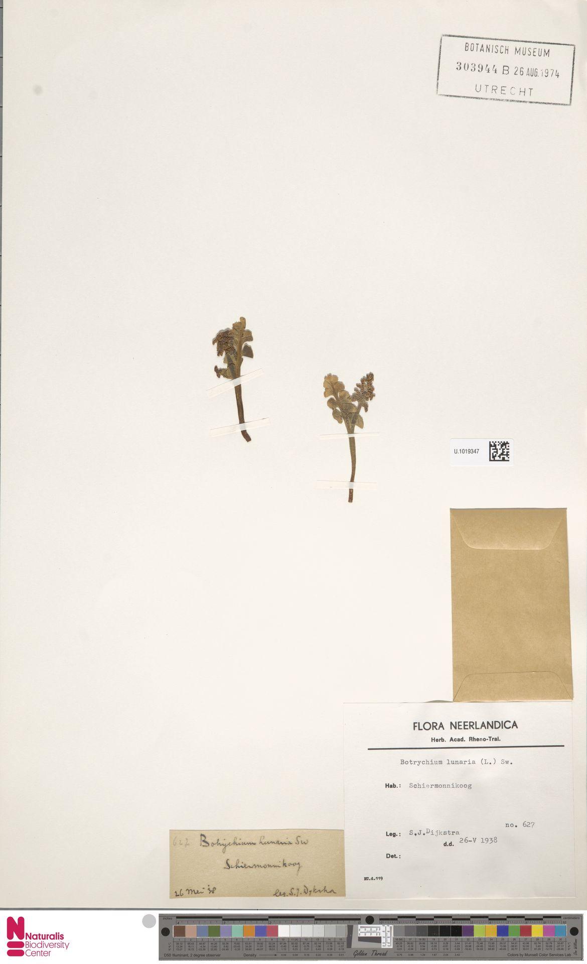 U.1019347 | Botrychium lunaria (L.) Sw.