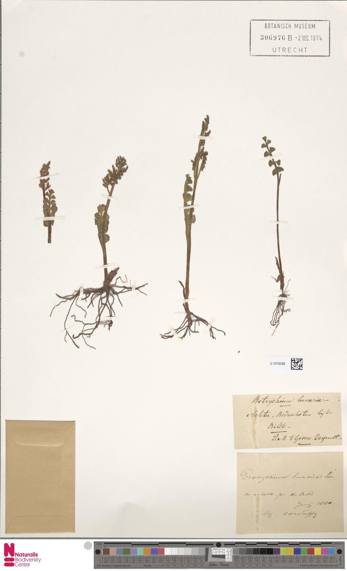 U.1019348 | Botrychium lunaria (L.) Sw.