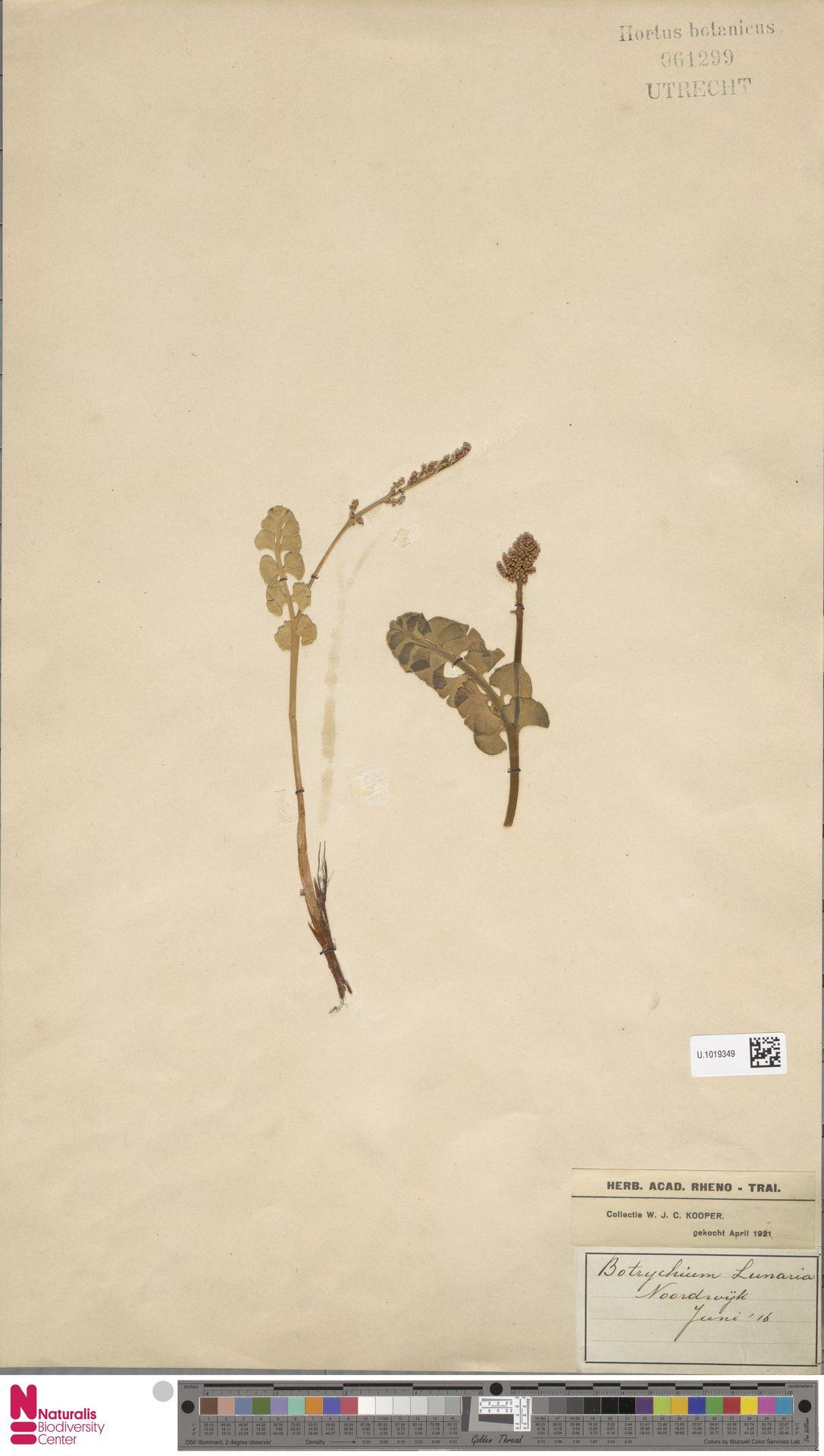 U.1019349 | Botrychium lunaria (L.) Sw.
