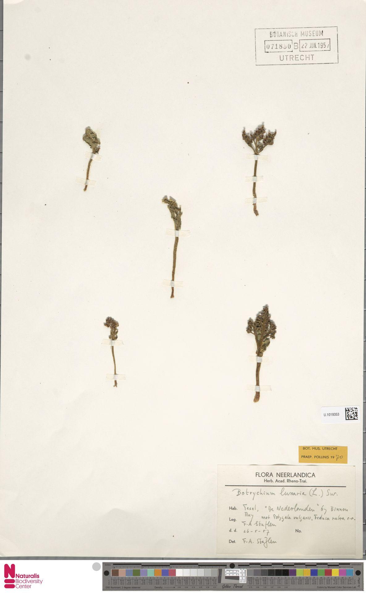 U.1019353 | Botrychium lunaria (L.) Sw.