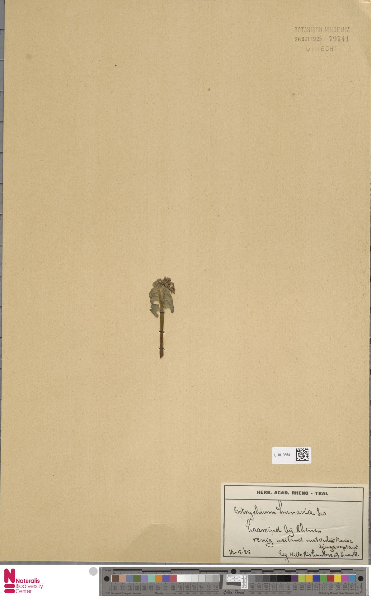 U.1019354 | Botrychium lunaria (L.) Sw.