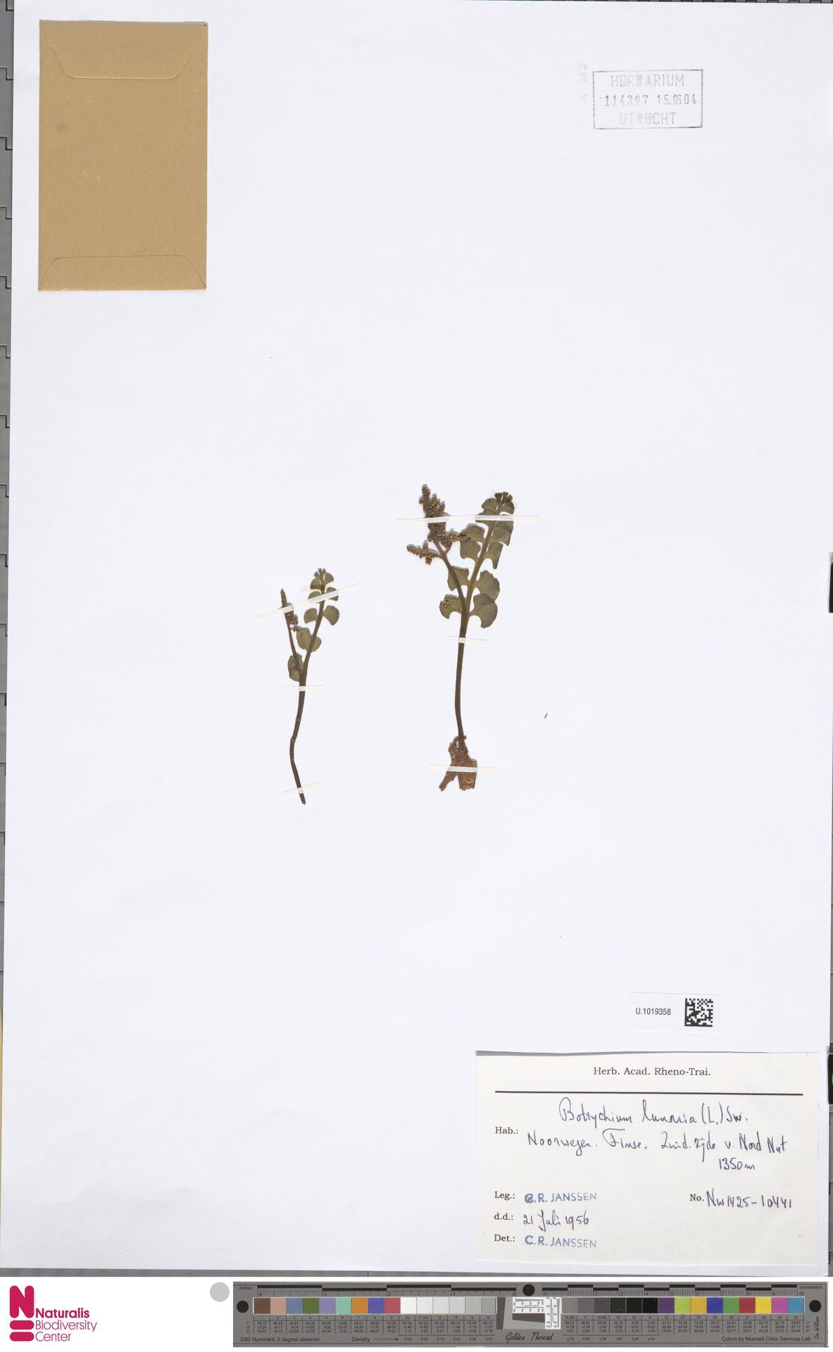 U.1019358 | Botrychium lunaria (L.) Sw.
