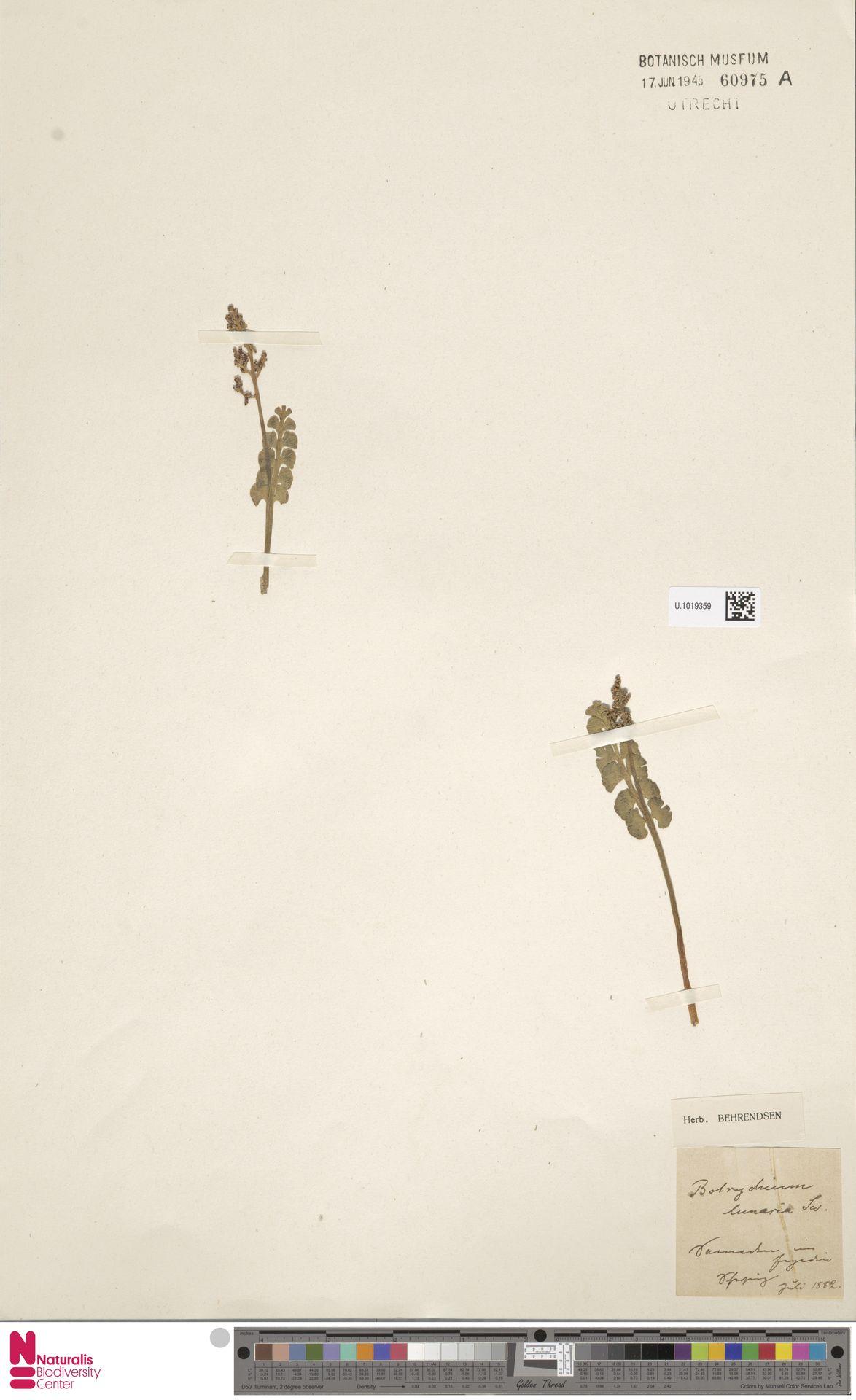 U.1019359 | Botrychium lunaria (L.) Sw.