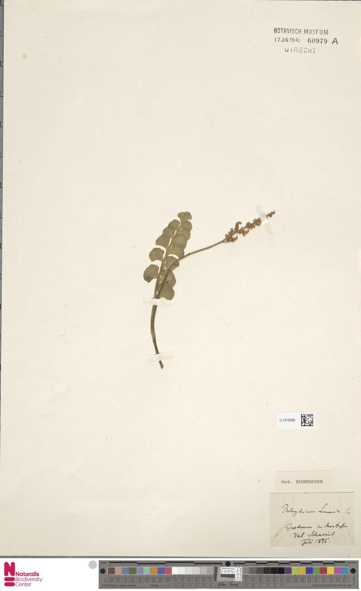 U.1019366 | Botrychium lunaria (L.) Sw.