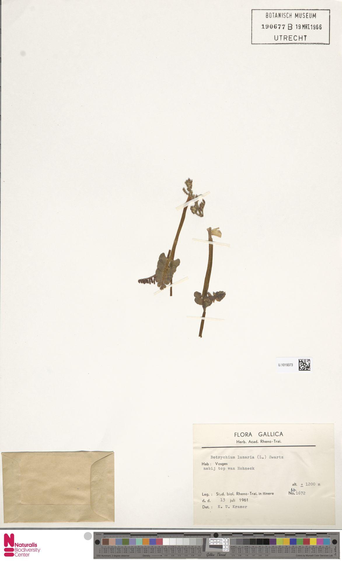 U.1019373 | Botrychium lunaria (L.) Sw.