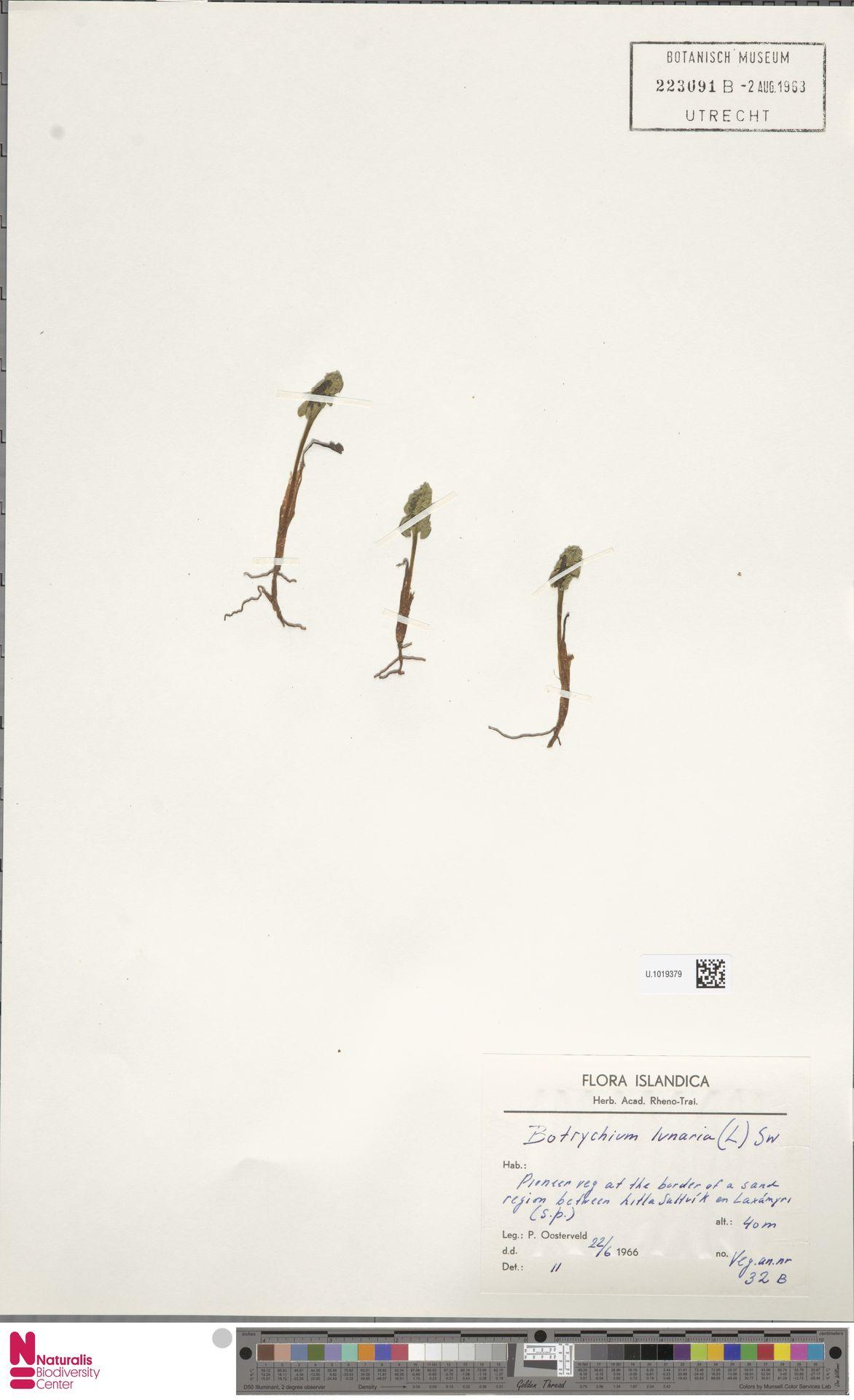 U.1019379   Botrychium lunaria (L.) Sw.