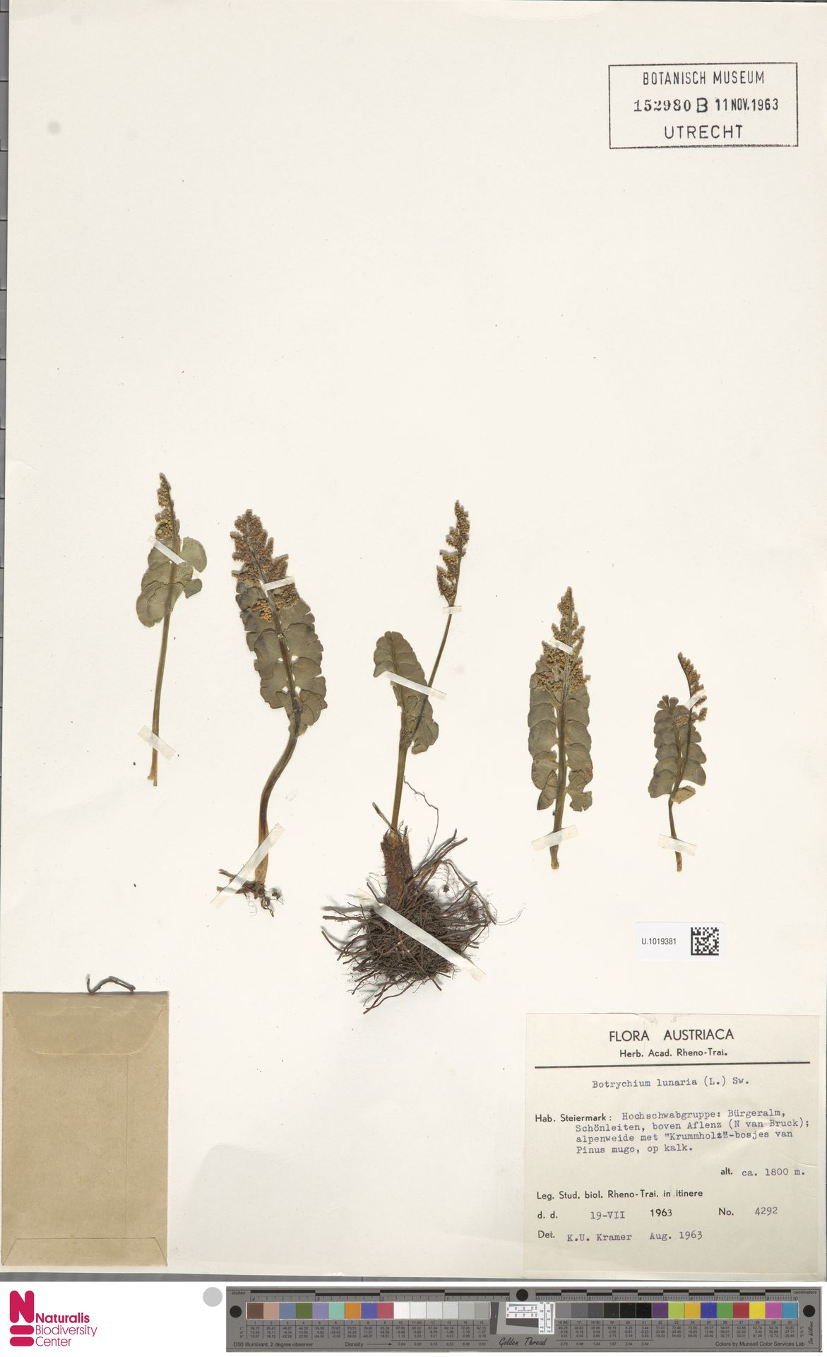 U.1019381 | Botrychium lunaria (L.) Sw.