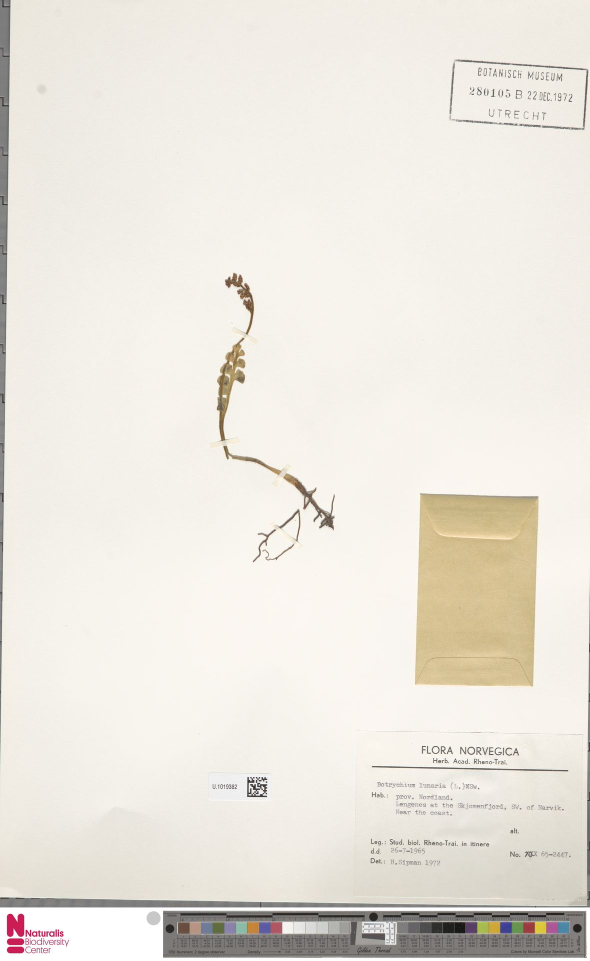 U.1019382 | Botrychium lunaria (L.) Sw.