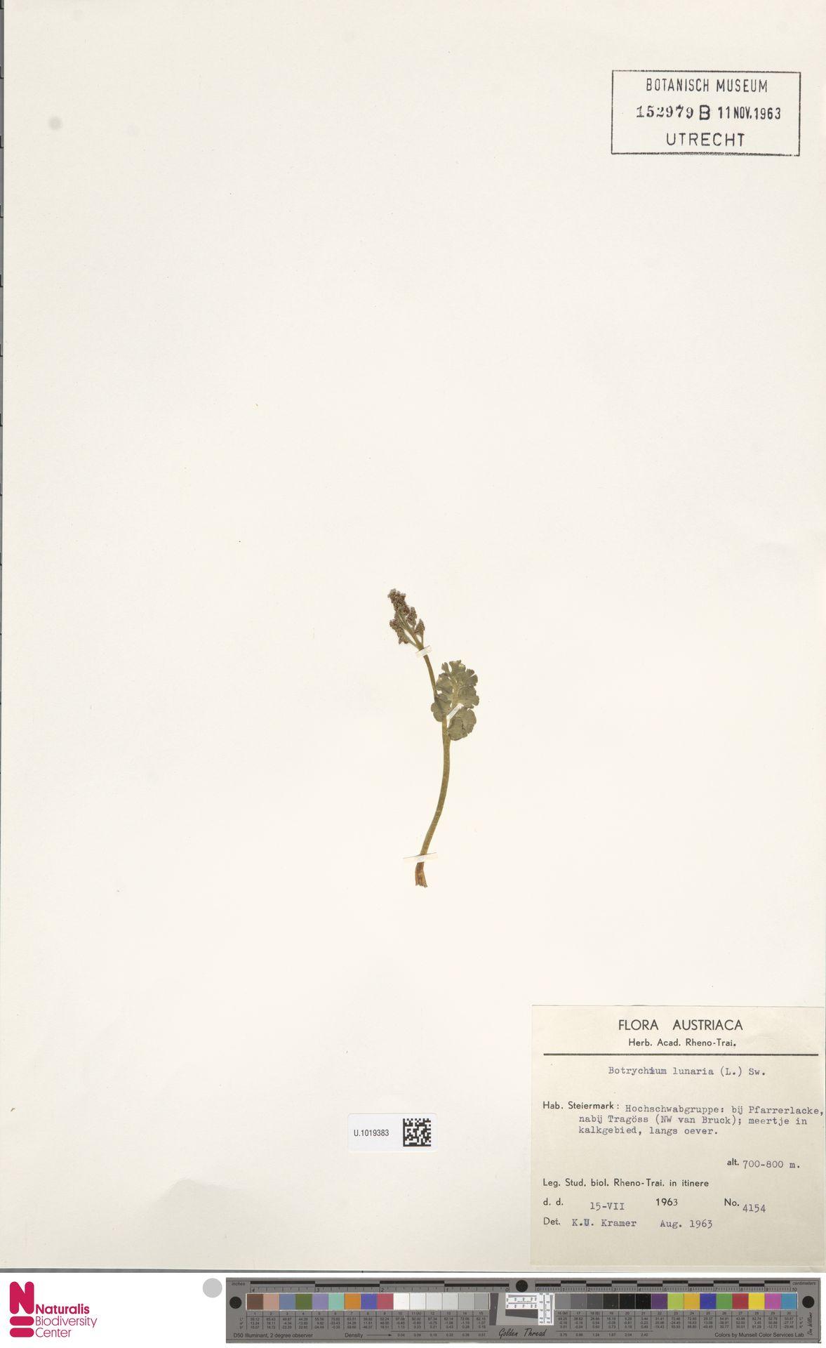 U.1019383 | Botrychium lunaria (L.) Sw.