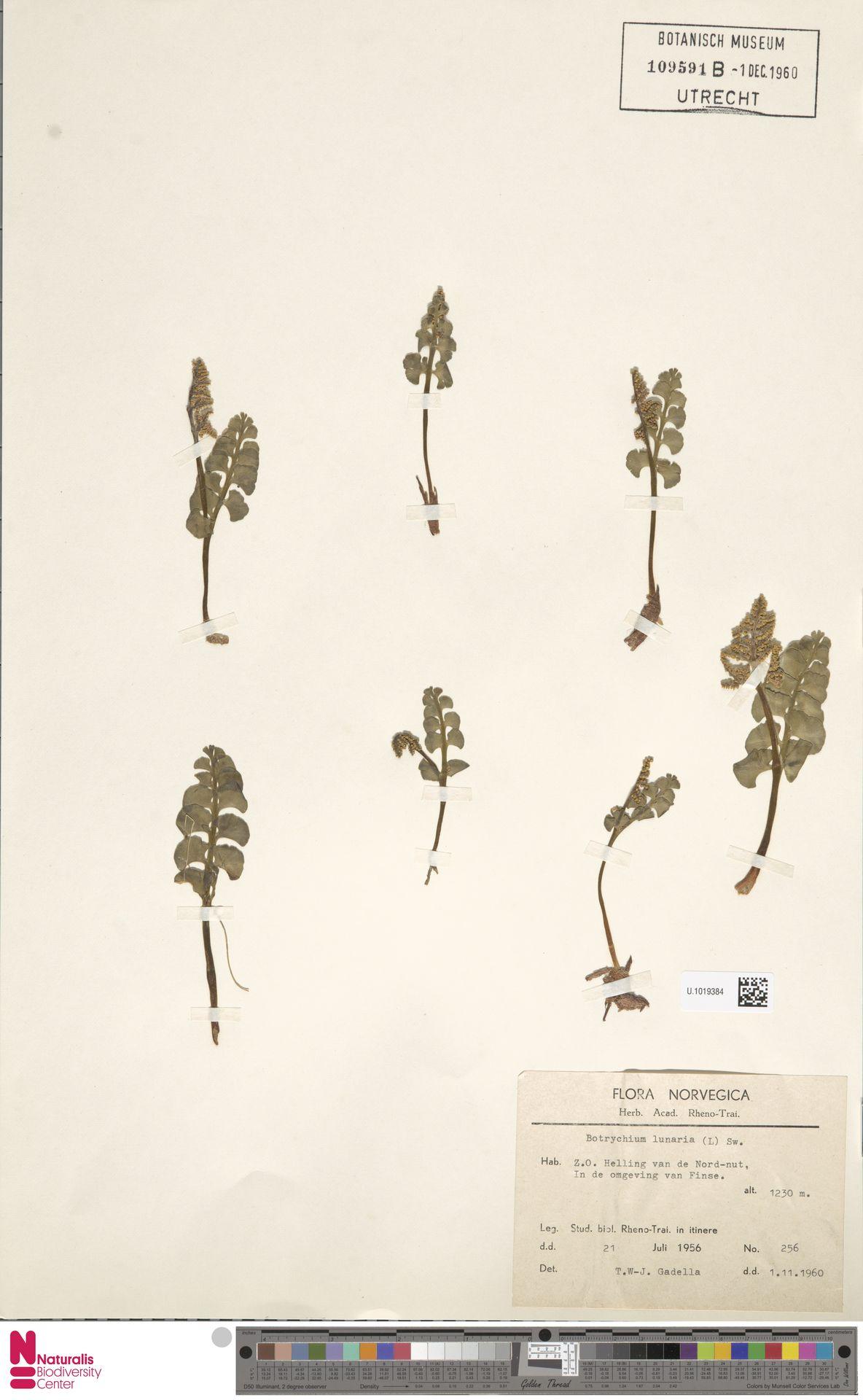 U.1019384 | Botrychium lunaria (L.) Sw.