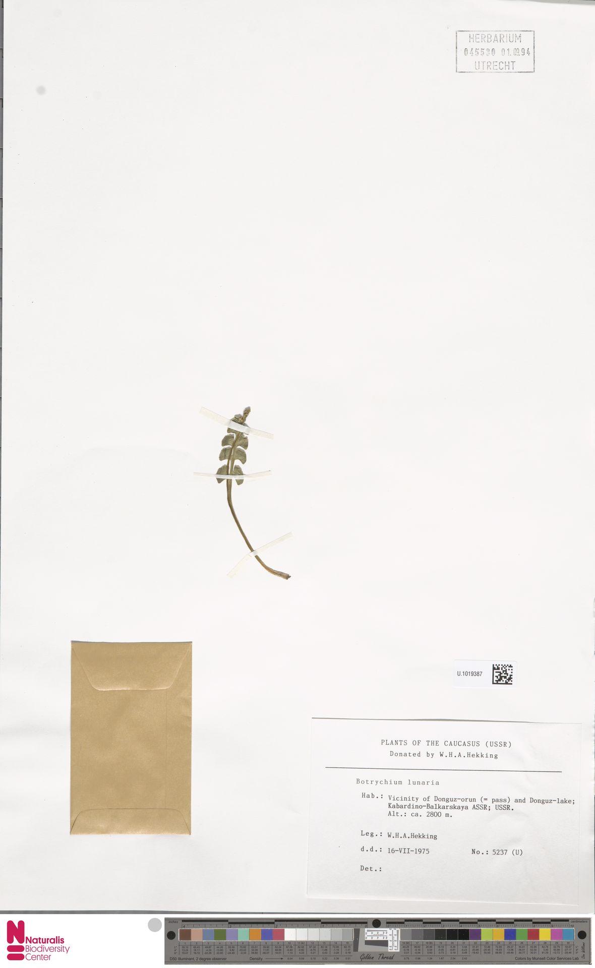 U.1019387 | Botrychium lunaria (L.) Sw.