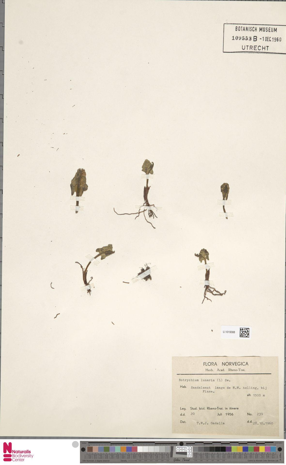 U.1019388 | Botrychium lunaria (L.) Sw.