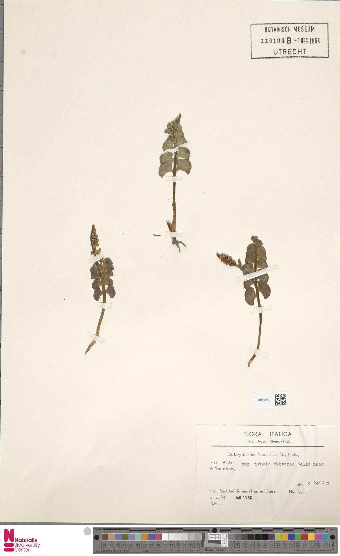 U.1019389 | Botrychium lunaria (L.) Sw.
