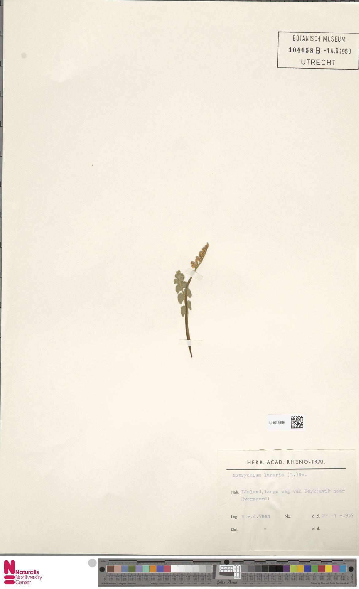 U.1019390 | Botrychium lunaria (L.) Sw.
