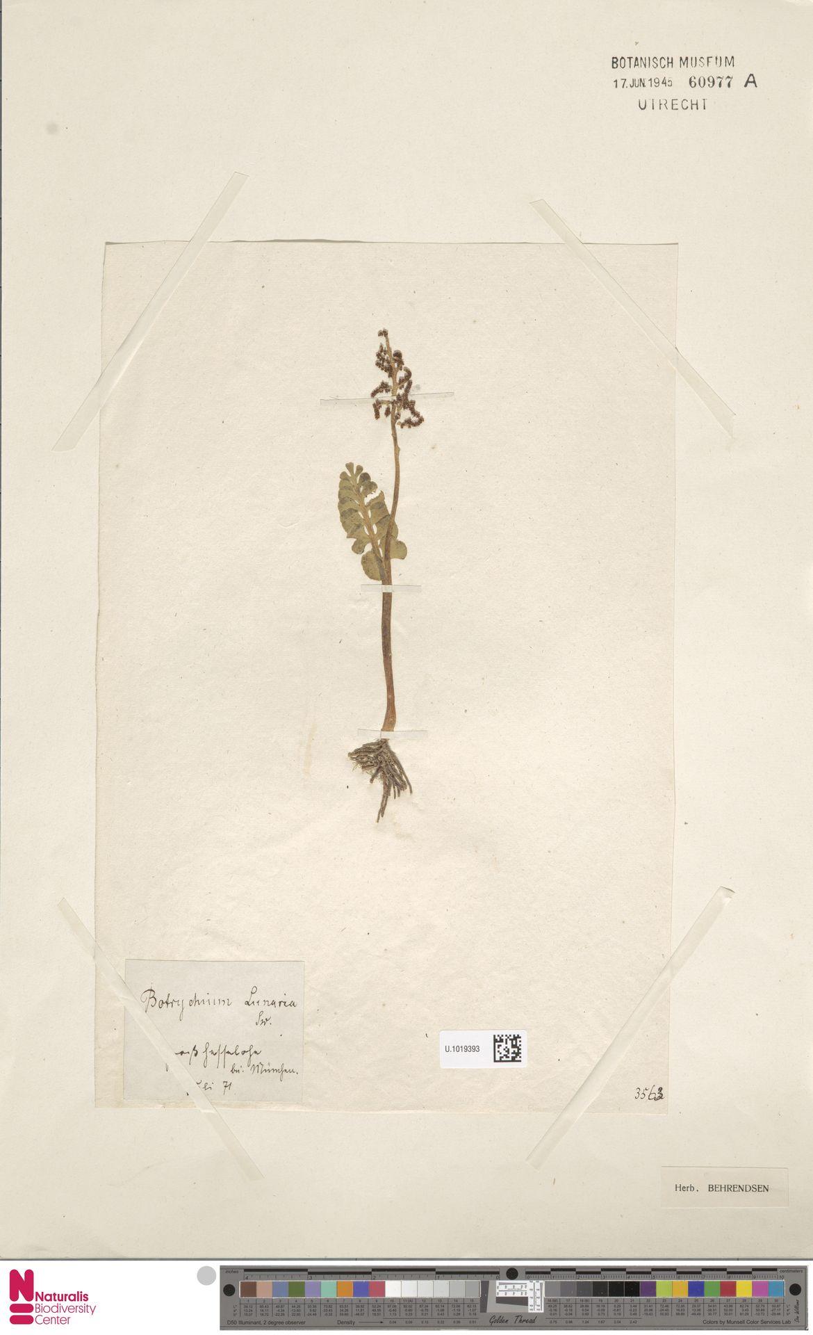 U.1019393 | Botrychium lunaria (L.) Sw.
