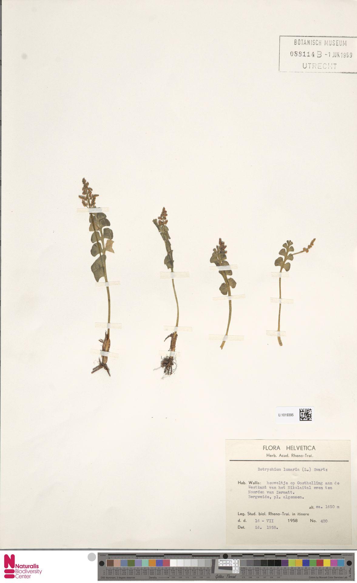 U.1019395 | Botrychium lunaria (L.) Sw.